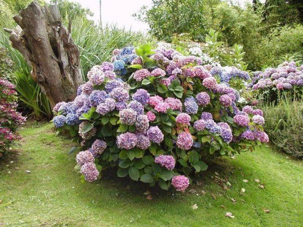 Секреты выращивания гортензии садовой | Цветущие кустарники, Посадка  деревьев, Посадка цветов