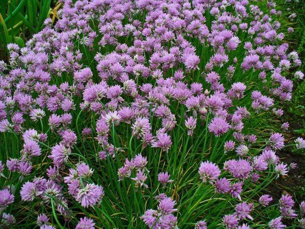 Лук-резанец, или шнитт-лук — полезный красавец — Ботаничка.ru