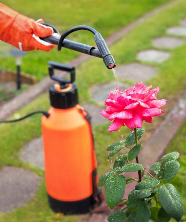 Подкормка роз для пышного цветения