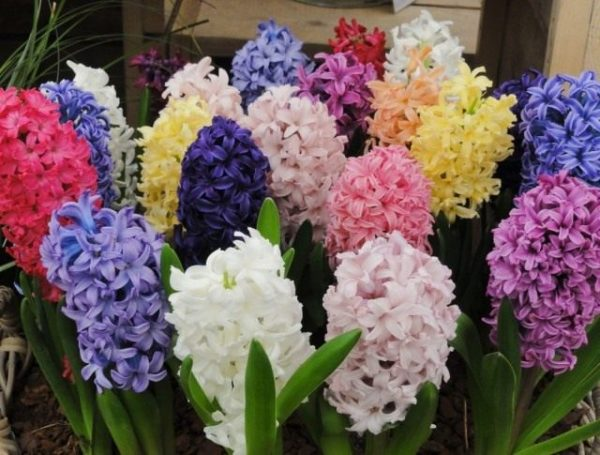 Hyacinthus-02-640x485-1