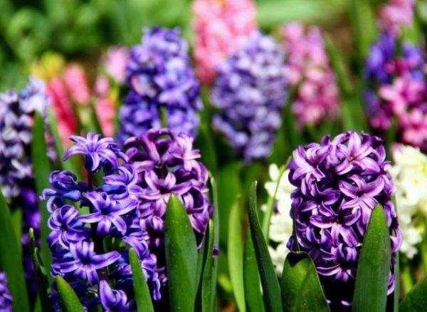 Hyacinthus-05-640x467-1