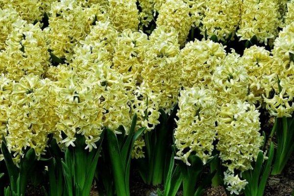 Hyacinthus-09-640x427-1