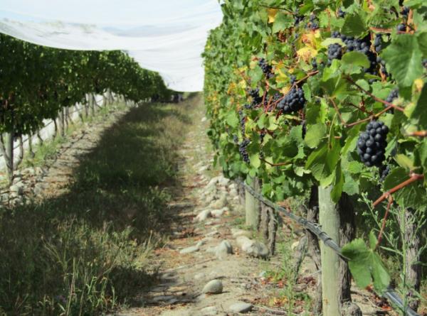 Чем подкормить виноград весной и осенью: лучшие удобрения, видео подкормки  и нормы внесения удобрений