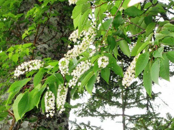Prunus-ssiori