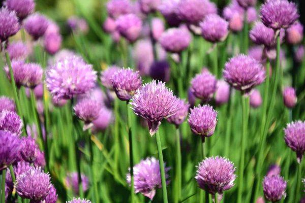Лук шнитт – выращивание и уход, фото растения