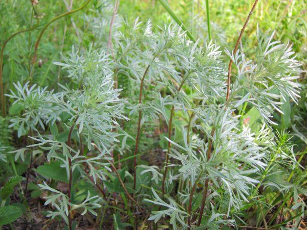 Полынь (артемизия): как выглядит горькая, шелковистая, лечебные свойства, где растет, в какой зоне, описание, фото