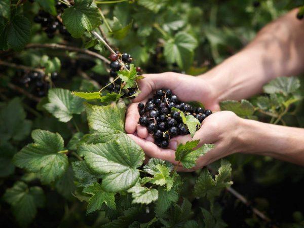 Смородина: уход и выращивание – посадка в открытом грунте, подкормка и размножение