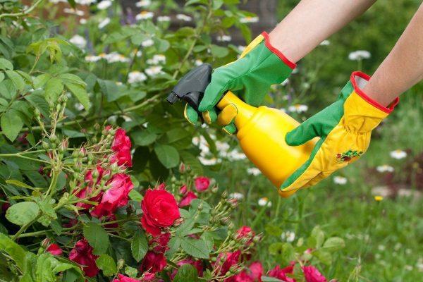 Чем подкормить розы весной и летом для пышного цветения | В цветнике  (Огород.ru)