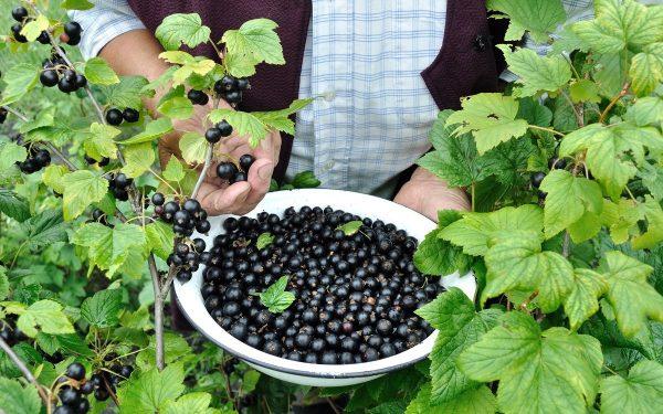Уход за смородиной после сбора урожая: чем подкормить, как правильно обрезать | В саду (Огород.ru)