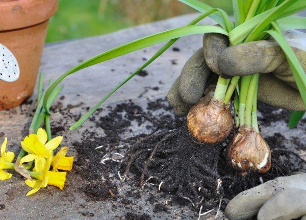 Когда выкапывать нарциссы после цветения? Как выкопать луковицы для  пересадки в открытом грунте? Как хранить их до посадки осенью?
