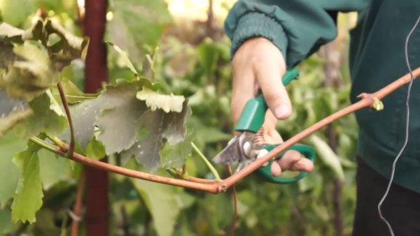 Черенкование винограда - YouTube