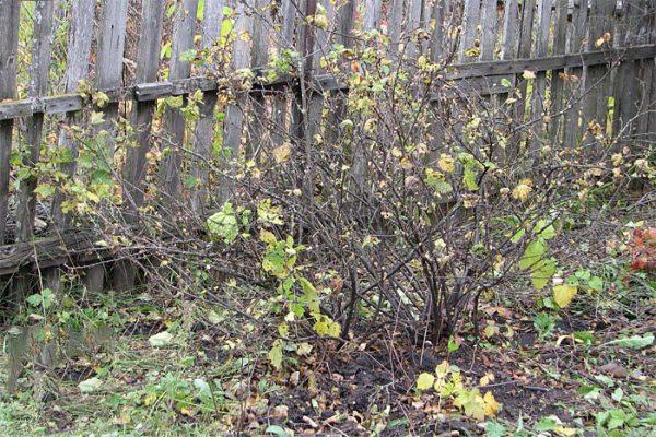 Уход за смородиной осенью и подготовка к зиме: обрезка, мульчирование, подкормки