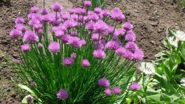 Шнитт-лук: полезная зелень или красивые цветы? И то и другое! – Дизайн Кафе