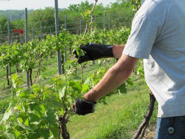 Подкормка винограда осенью: удобрения и прочие способы