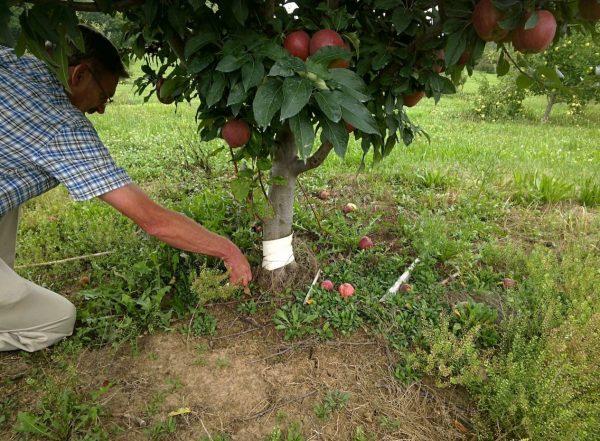 Размножение яблони черенками и отводками. Фото — Ботаничка.ru