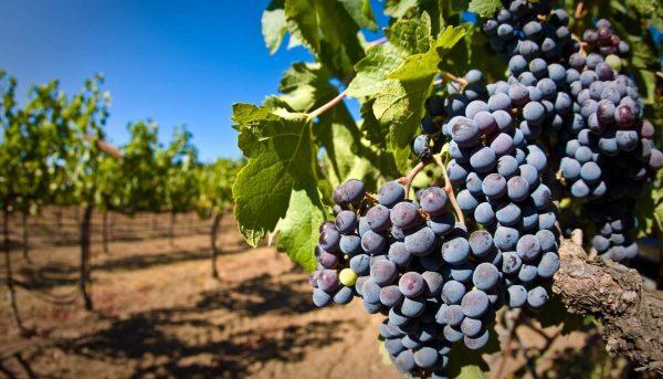 Удобрение для винограда - когда и чем подкармливать