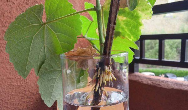 Черенкование винограда: делаем в феврале в домашних условиях | Огородники