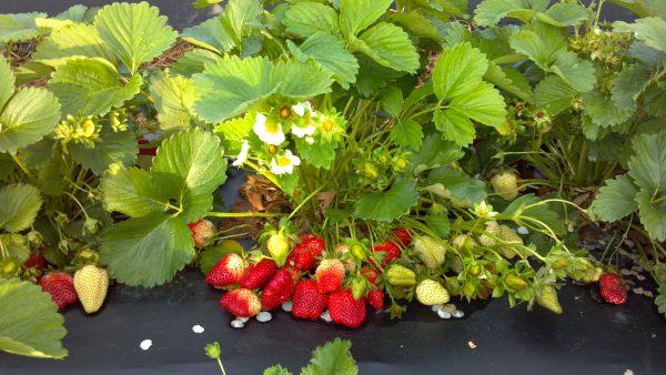 Удобряем рассаду земляники для хорошего роста и высокого урожая