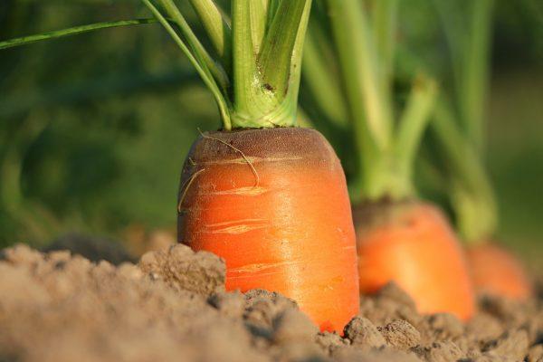 Чем подкормить морковь для роста 🚩 Сад и огород