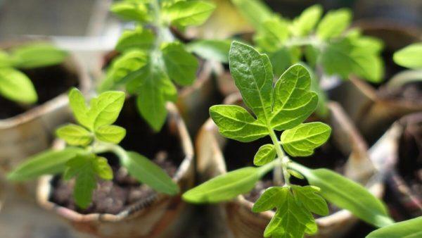 Как избежать «битвы за урожай» на дачном участке? Выращивание помидоров    Растения   ШколаЖизни.ру