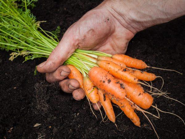 Когда убирать морковь с грядки на хранение по лунному календарю в 2020 году  в Подмосковье, Московской области, Урале, Сибири