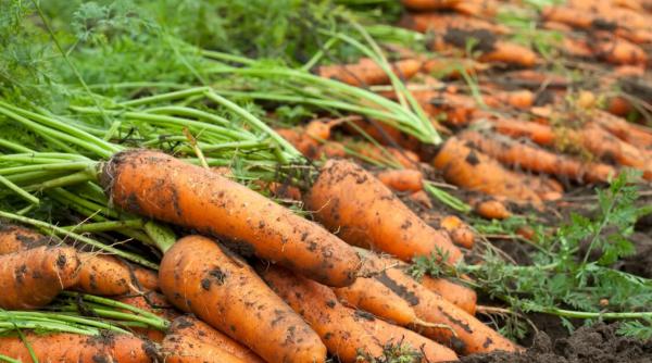 Когда сажать морковь весной в открытый грунт и как: сроки посадки