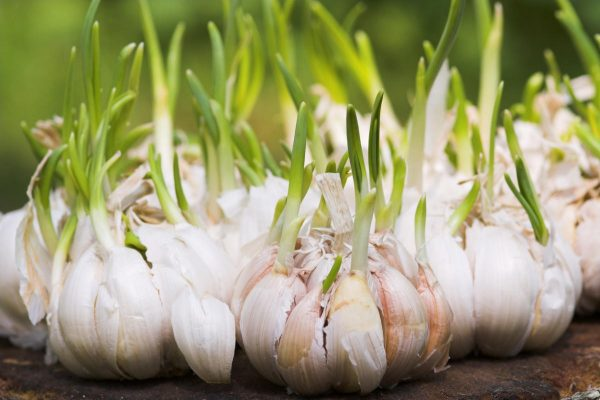 Чеснок: подзимняя агротехника — Статьи — Хобби Сад