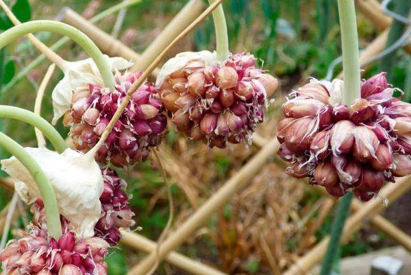 Как вырастить семена чеснока Ferma-Svetlaya.ru