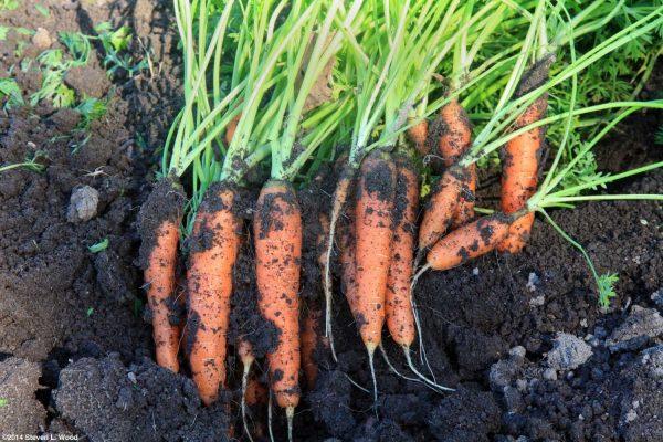 Готовимся к уборке корешков - Морковь, Свекла, Репа