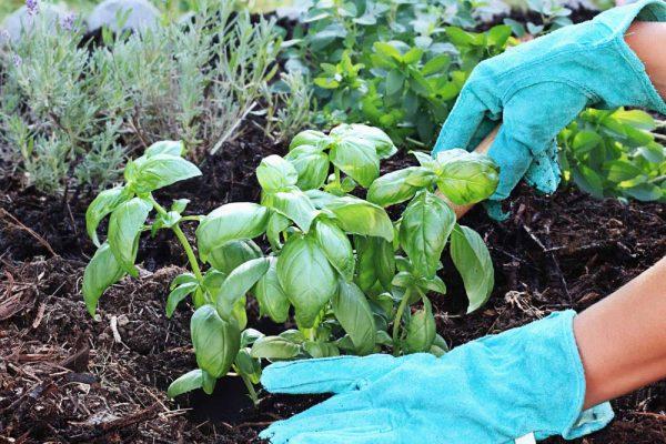 Как правильно выращивать базилик в открытом грунте?