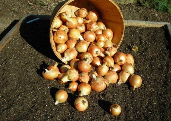 Когда садить озимый лук севок. Лучшие озимые сорта лука