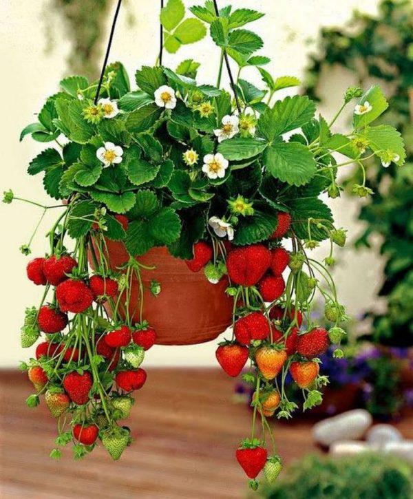 Выращиваем садовую землянику из семян. Преимущества семенного выращивания  клубники. Выбор сорта для посадки земляники. Как вырастить семена клубники.  Стратификация и пикирование земляничной рассады. Выращиваем клубнику через  рассаду