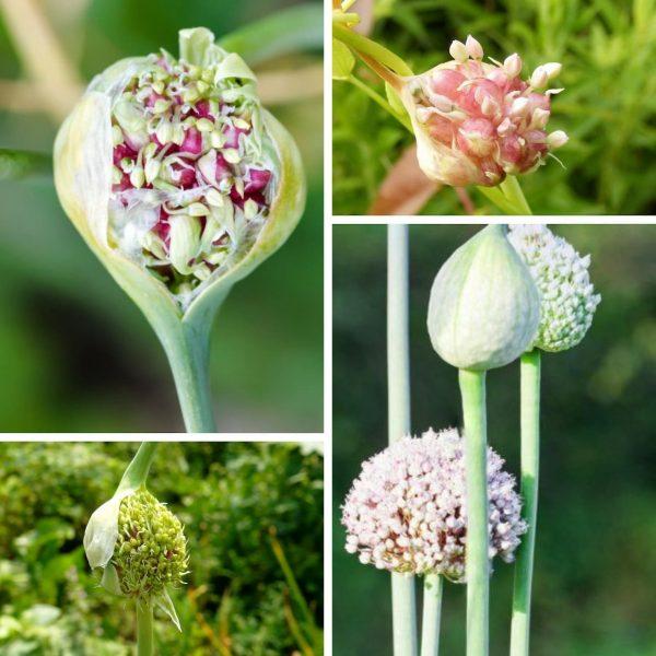 Выращивание чеснока из бульбочек – заготовка, посадка, уход