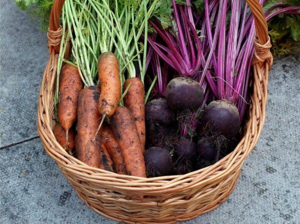 Когда и как копать морковь и свёклу?   Свекла, Огородничество, Морковь