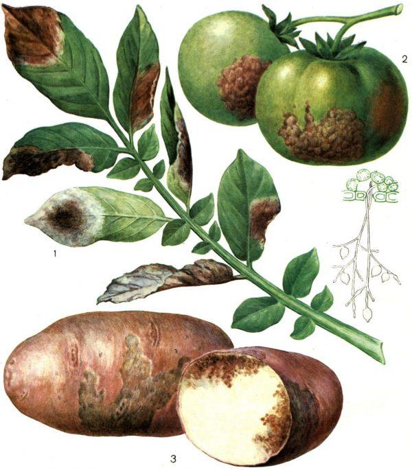 Как предотвратить и бороться с фитофторозом картофеля - Агро Эксперт