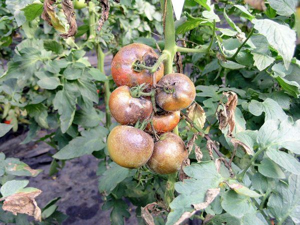 Фитофтороз томатов: как бороться, чем лечить, каким средством обрабатывать