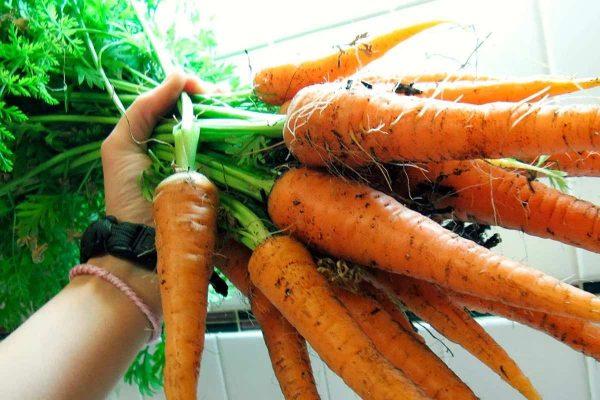 Как вырастить сладкую и крупную морковь, и как правильно готовить почву к  посадке