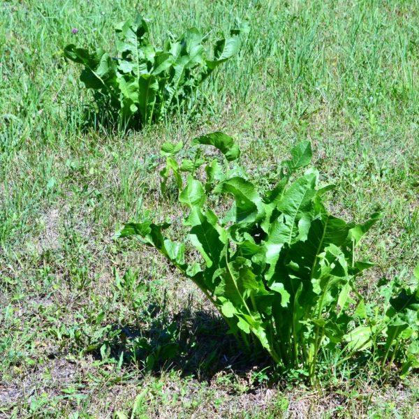 Как вырастить, заготовить и хранить хрен. | В огороде лебеда.