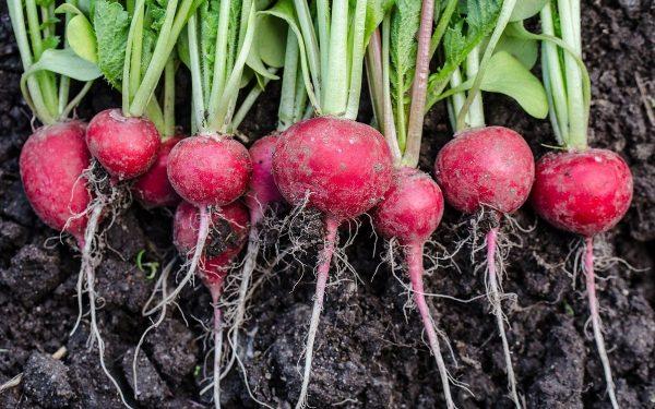 Выращивание редиса: 8 секретов небывалого урожая | На грядке (Огород.ru)