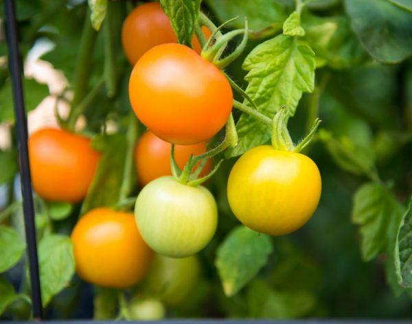 Как ускорить созревание помидор в теплице: почему не краснеют?