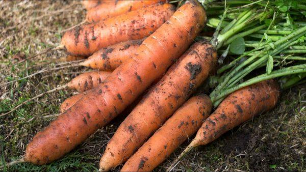 Выращивание маленькой моркови - Агро Мастер