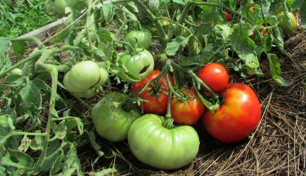 За сколько дней созреет помидор после цветение. Помидоры: полный курс по  выращиванию томатов от посева до урожая