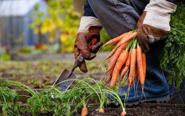 Ранний Урожай Моркови, Уборка, Хранение Зимой