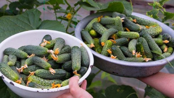 Лучшие сорта огурцов для открытого грунта и теплиц в Украине: особенности  посадки и выращивания, отзывы, видео