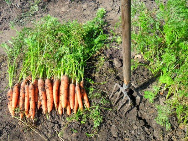 Типичные ошибки при уборке свеклы и моркови и закладке их на хранение