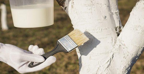 Нужно ли белить деревья осенью: эксперты отвечают, какую побелку выбрать и  как в целом подготовить саженцы к зиме | SM.News