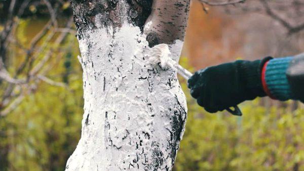 Побелка деревьев осенью | Советы Садоводам