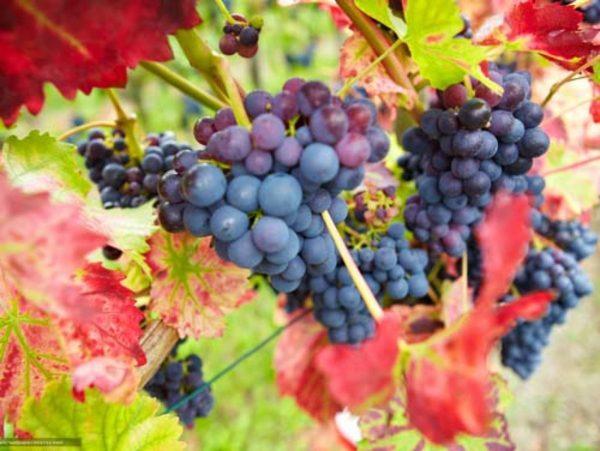 Подготовка винограда к зиме: чем укрывать, как поливать, обрезка, уход,  обработка от болезней и вредителей, подкормка, хранение черенков, ягод и  листьев