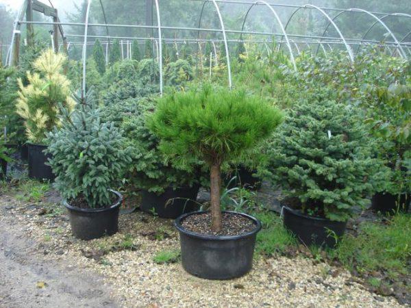 Pinus_densiflora_Umbraculifera_Compacta_3_800