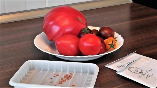 Как собрать и сохранить семена томатов? Альметьвеска - Новости Альметьевска  и Татарстана на ЗайИнфо